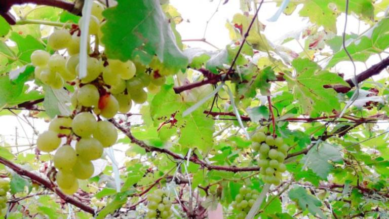 Denila Grapes Farm