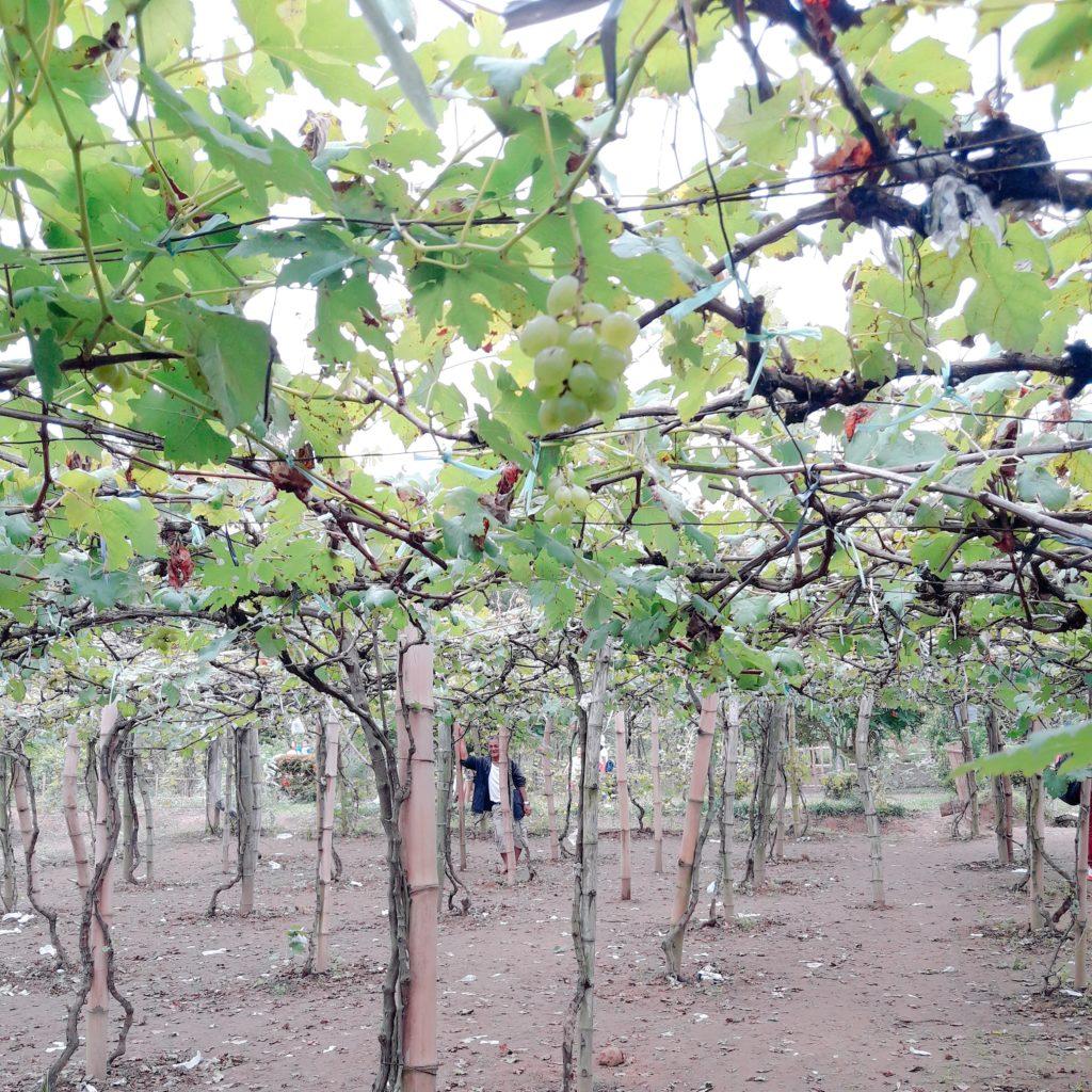 denila farm grapes