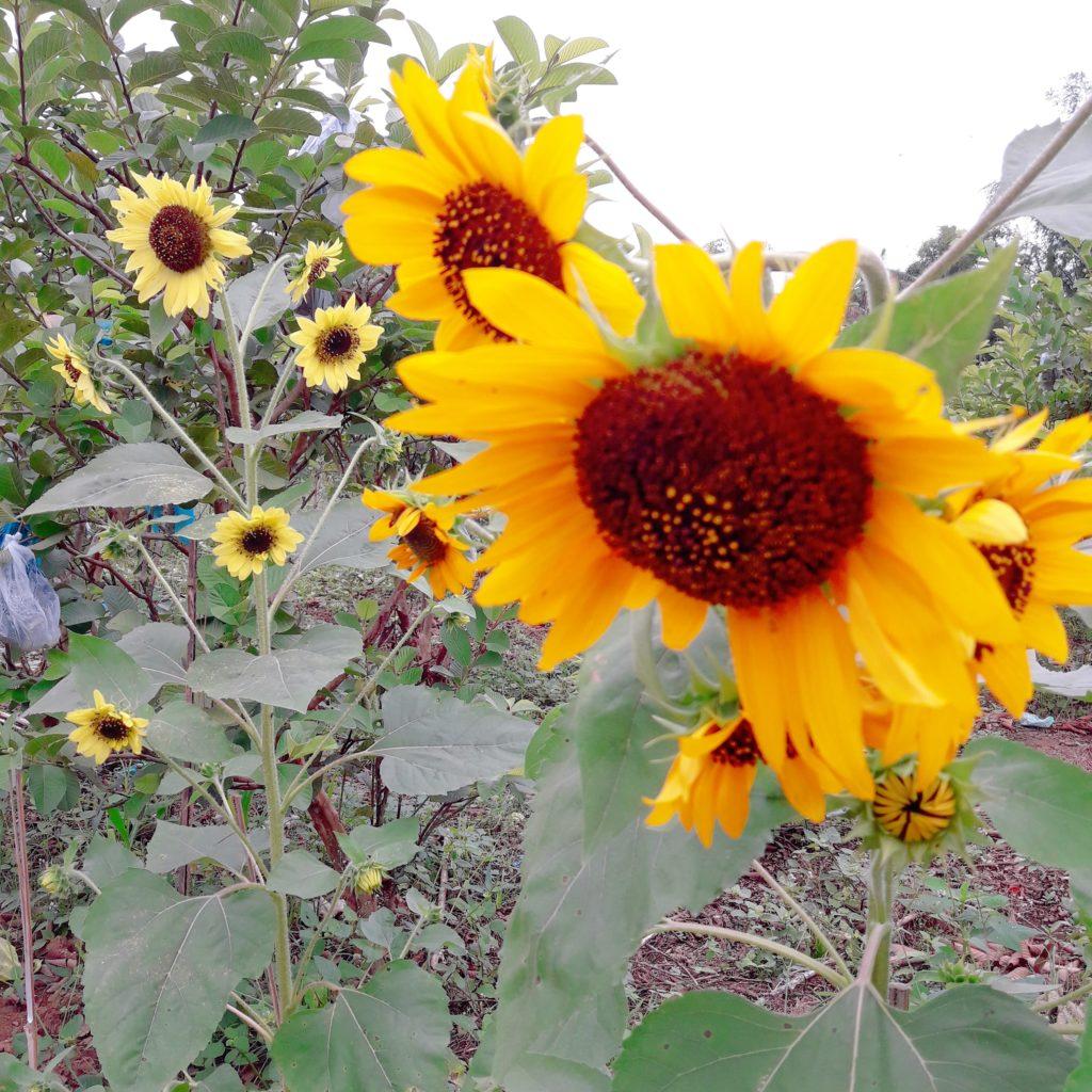 denila farm sunflower