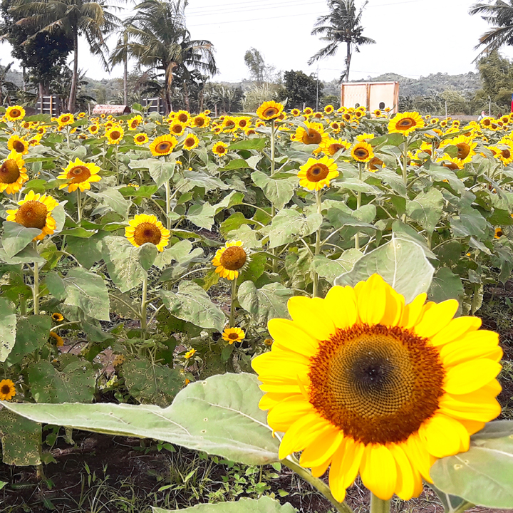 barotac iloilo sunflower farm