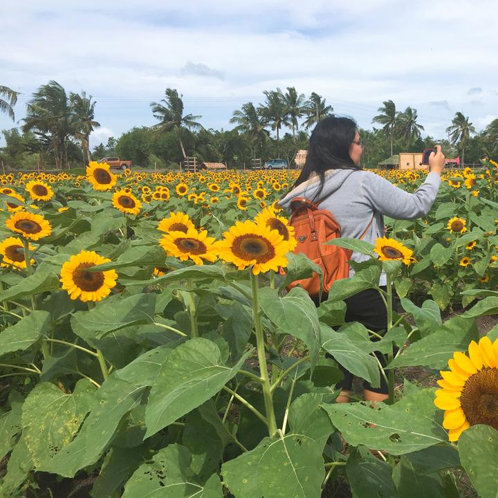 barotac nuevo sunflower