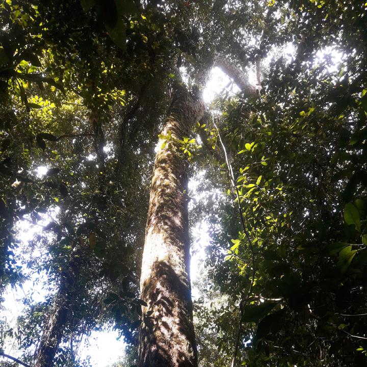 lawaan tree