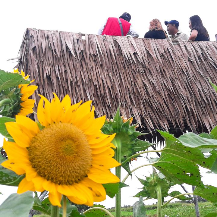 sunflowers in iloilo