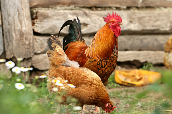 Native Chicken Stocks Distributed in Barangays